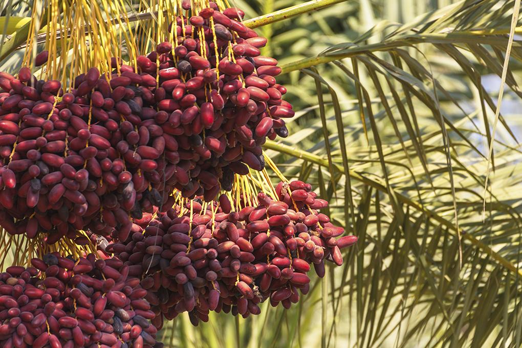 Какие фрукты в октябре в Тунисе
